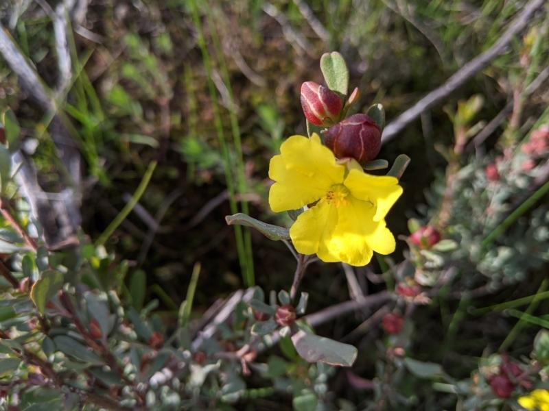 Hibbertia obtusifolia at Nail Can Hill - 1 Aug 2020