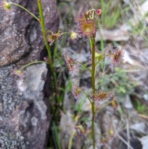 Drosera peltata at Nail Can Hill - 1 Aug 2020