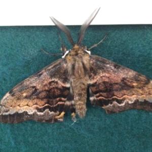 Chelepteryx collesi (White-stemmed Gum Moth) at by elizabethgleeson