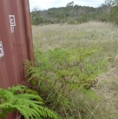 Calochlaena dubia (Rainbow fern) at Boro, NSW - 8 Feb 2021 by Paul4K