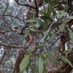 Muellerina eucalyptoides at Nail Can Hill - 3 Jun 2021