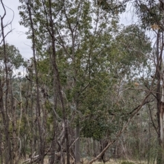 Brachychiton populneus at Urana Road Bushland Reserves - 3 Jun 2021