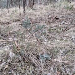 Hibbertia obtusifolia (Grey Guinea-flower) at Urana Road Bushland Reserves - 3 Jun 2021 by Darcy