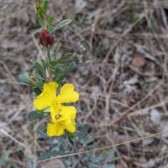 Hibbertia obtusifolia at Urana Road Bushland Reserves - 3 Jun 2021