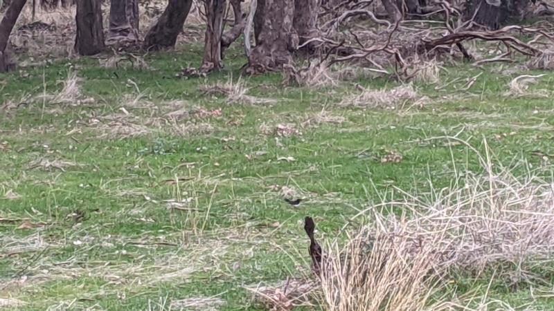 Rhipidura leucophrys at Nail Can Hill - 3 Jun 2021