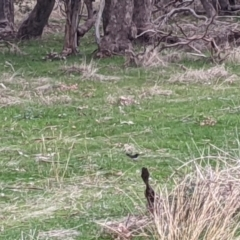 Rhipidura leucophrys (Willie Wagtail) at Nail Can Hill - 3 Jun 2021 by Darcy