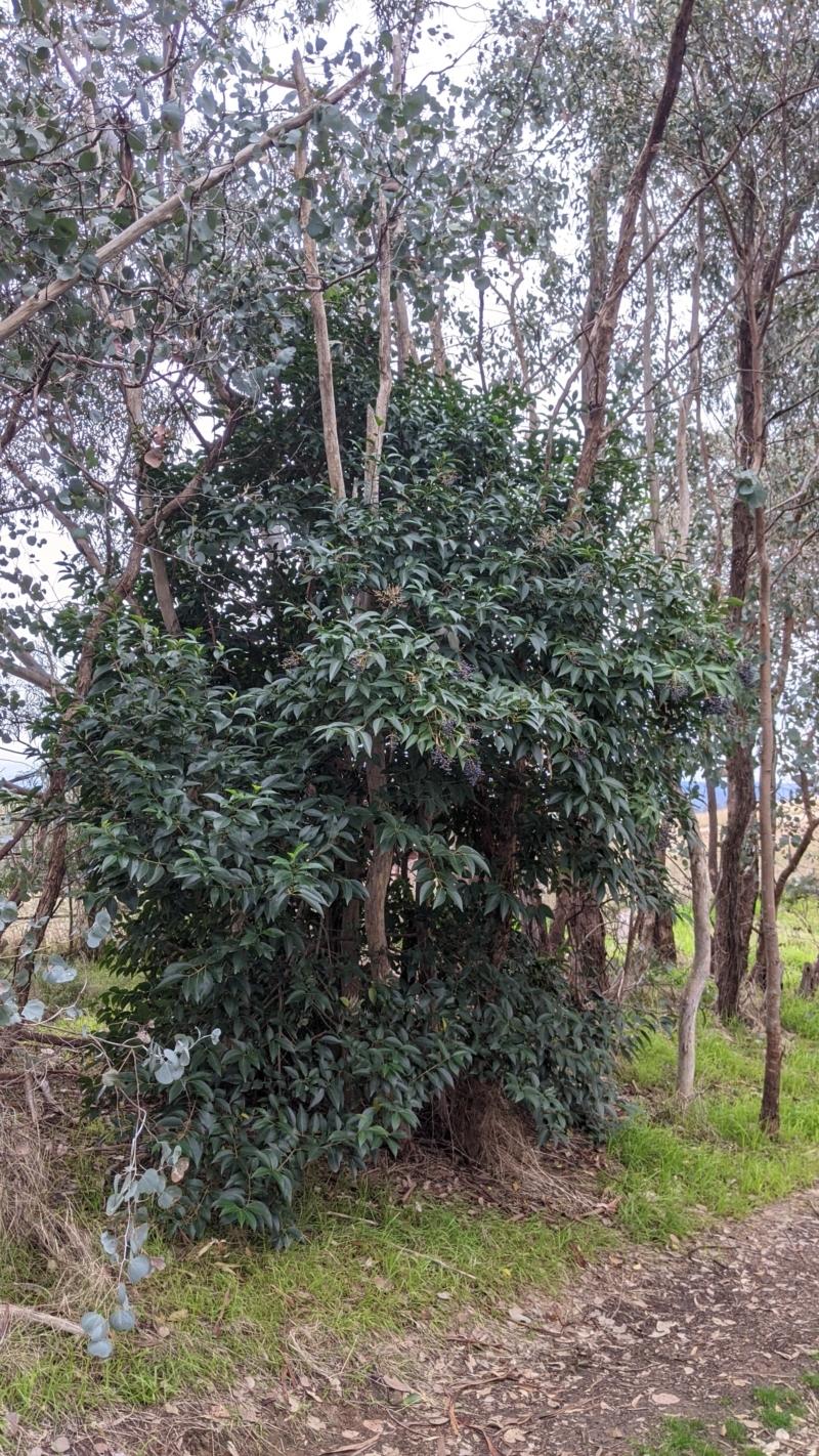 Ligustrum lucidum at Urana Road Bushland Reserves - 3 Jun 2021