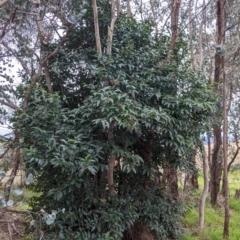 Ligustrum lucidum (Large-leaved Privet) at Urana Road Bushland Reserves - 3 Jun 2021 by Darcy