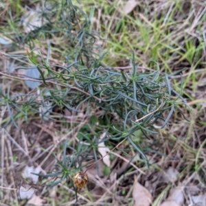 Xerochrysum viscosum at Urana Road Bushland Reserves - 3 Jun 2021