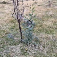 Acacia dealbata subsp. dealbata (Silver Wattle) at Nail Can Hill - 3 Jun 2021 by Darcy