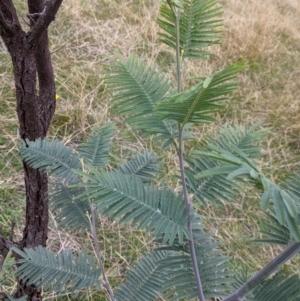 Acacia dealbata subsp. dealbata at Nail Can Hill - 3 Jun 2021