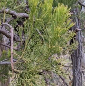 Exocarpos cupressiformis at Urana Road Bushland Reserves - 3 Jun 2021