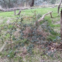 Rubus anglocandicans (Blackberry) at Albury - 3 Jun 2021 by Darcy