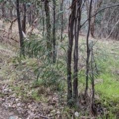 Acacia implexa (Hickory Wattle) at Urana Road Bushland Reserves - 3 Jun 2021 by Darcy