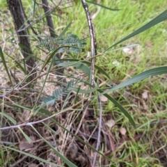Acacia implexa at Urana Road Bushland Reserves - 3 Jun 2021