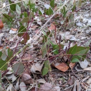 Hardenbergia violacea at Urana Road Bushland Reserves - 3 Jun 2021