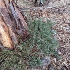 Hibbertia obtusifolia (Grey Guinea-flower) at Albury - 3 Jun 2021 by Darcy