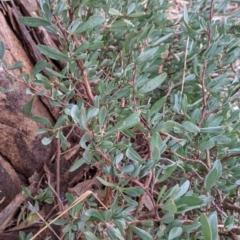 Hibbertia obtusifolia at Albury - 3 Jun 2021