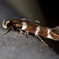 Limnaecia chionospila (A Gelechioid moth) at Melba, ACT - 4 Nov 2020 by Bron