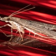 Diploseustis periersalis at Melba, ACT - 2 Jun 2021