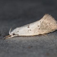 Thalerotricha mylicella (A concealer moth) at Melba, ACT - 4 Nov 2020 by Bron