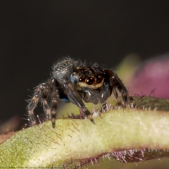 Unidentified Jumping & peacock spider (Salticidae) (TBC) at Macgregor, ACT - 3 Jun 2021 by Roger