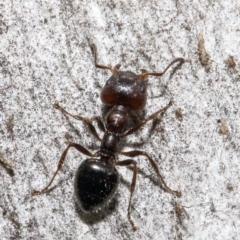 Myrmecorhynchus emeryi (Possum Ant) at Bruce, ACT - 4 Jun 2021 by Roger
