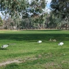 Threskiornis molucca (Australian White Ibis) at Hovell Tree Park - 4 Jun 2021 by Darcy
