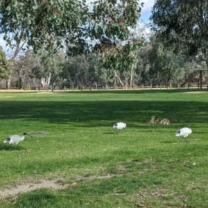 Threskiornis molucca (Australian White Ibis) at Hovell Tree Park by Darcy