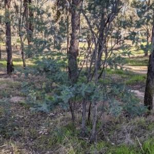 Acacia dealbata subsp. dealbata (Silver Wattle) at Albury by Darcy