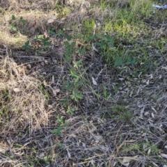 Rubus anglocandicans (Blackberry) at Albury - 4 Jun 2021 by Darcy