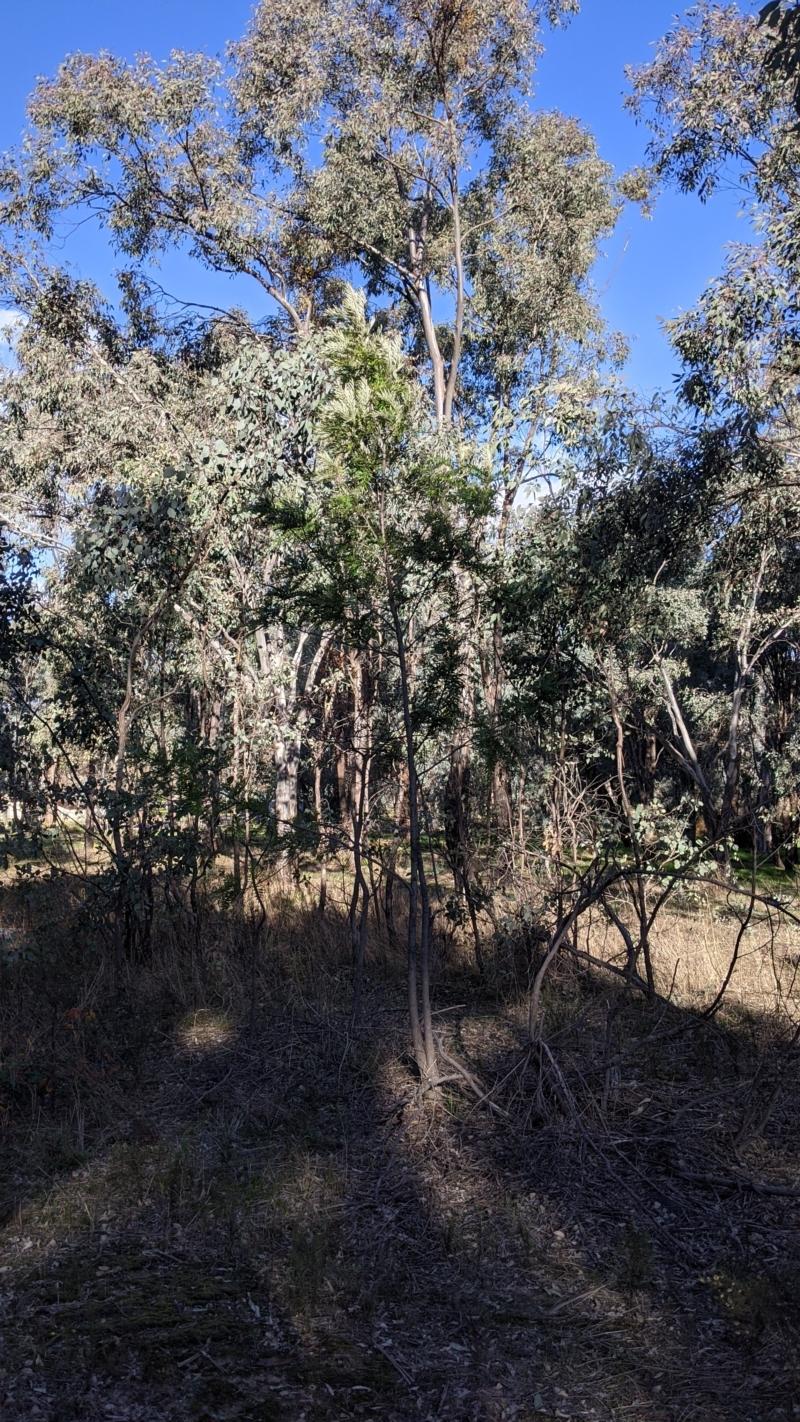 Grevillea robusta at Albury - 4 Jun 2021