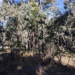 Grevillea robusta (Silky Oak) at Albury - 4 Jun 2021 by Darcy
