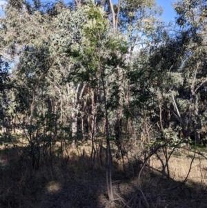 Grevillea robusta (Silky Oak) at Albury by Darcy