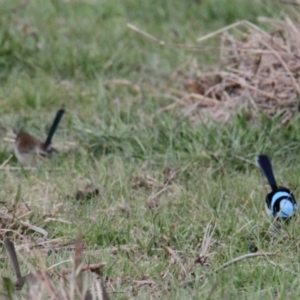 Malurus cyaneus (Superb Fairywren) at Water Works Travelling Stock Reserve by PaulF
