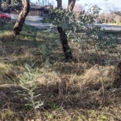 Acacia dealbata subsp. dealbata (Silver Wattle) at Albury - 4 Jun 2021 by Darcy