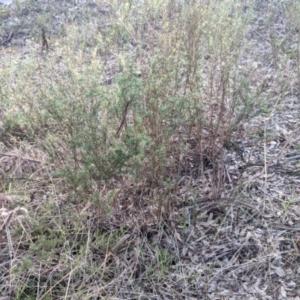 Xerochrysum viscosum (Sticky Everlasting) at Albury by Darcy