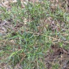Xerochrysum viscosum at Albury - 4 Jun 2021