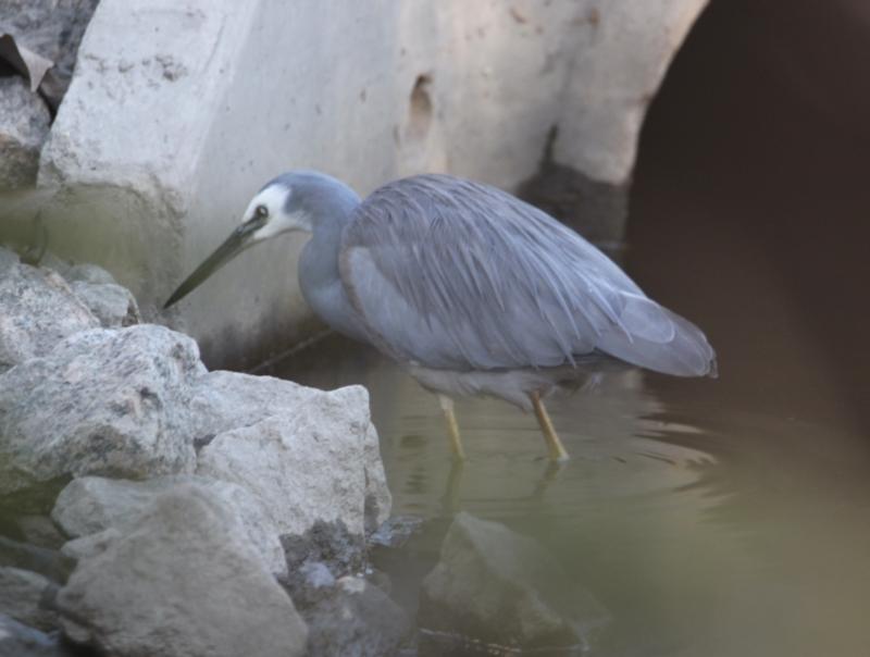 Egretta novaehollandiae at Albury - 31 May 2021