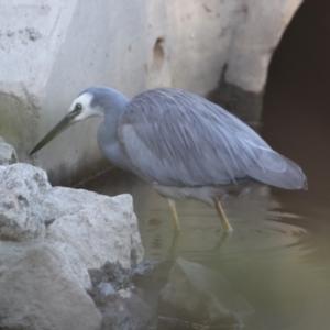 Egretta novaehollandiae (White-faced Heron) at Albury by PaulF