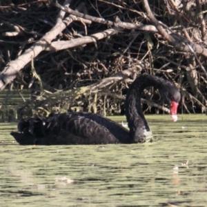 Cygnus atratus (Black Swan) at Albury by PaulF