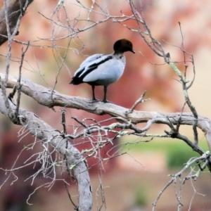 Anas superciliosa at Wodonga - 4 Jun 2021