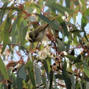 Ptilotula penicillata (White-plumed Honeyeater) at Wodonga by Kyliegw