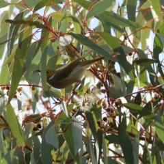 Ptilotula penicillata at Wodonga - 4 Jun 2021