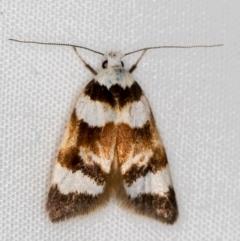 Catacometes phanozona (A Concealer moth) at Melba, ACT - 3 Nov 2020 by Bron