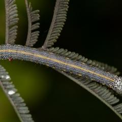 Chlenias (genus) (A looper moth) at Bruce, ACT - 2 Nov 2020 by Bron