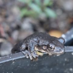 Litoria peronii (Peron's Tree Frog, Emerald Spotted Tree Frog) at Gundaroo, NSW - 5 Mar 2021 by Gunyijan