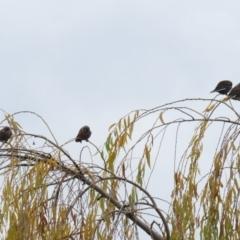 Artamus cyanopterus (Dusky Woodswallow) at Jerrabomberra Wetlands - 4 Jun 2021 by RodDeb