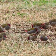 Neochmia temporalis (Red-browed Finch) at Jerrabomberra Wetlands - 4 Jun 2021 by RodDeb