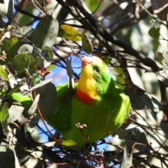 Polytelis swainsonii (Superb Parrot) at Kambah, ACT - 29 May 2021 by MatthewFrawley